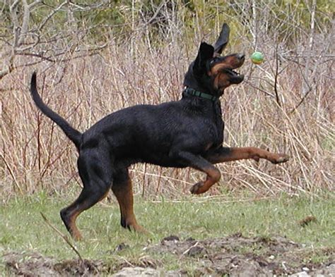 Do Black And Coonhounds Shed by Breeds That Start With B Pets World