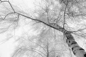 Leinwandbilder Schwarz Weiß : hannes cmarits birke im nebel schwarz wei poster online bestellen posterlounge ~ Markanthonyermac.com Haus und Dekorationen