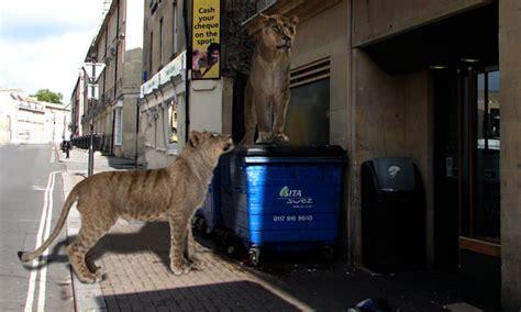 bbc nature uk     wild lions  tigers