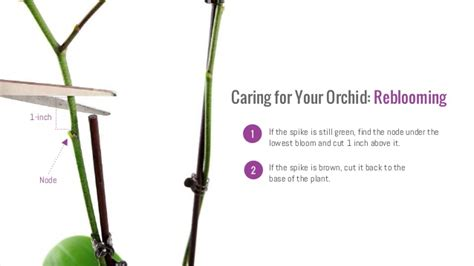 how do i prune an orchid orchid care 101