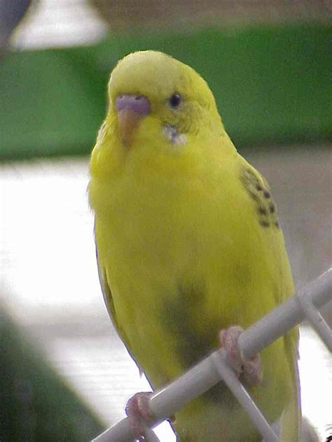 yellow parakeet which colored parakeet do you like more poll results parakeets fanpop