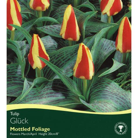 bulbs tulip gluck bulbs for sale mail order