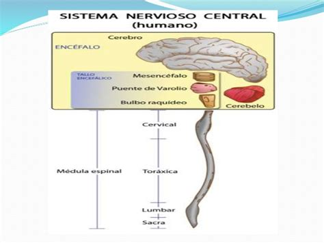 La Snc by Snc Sistema Nervioso Central