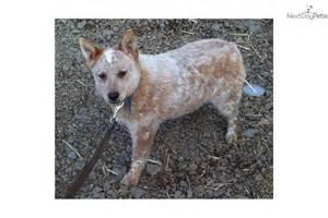 red heeler personality pictures to pin on pinterest