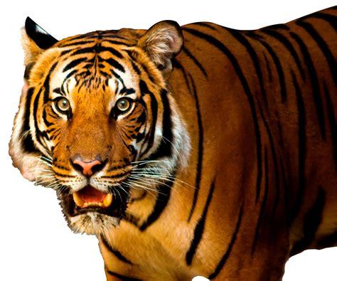 Pics Of White Tiger Tiger Png Image Pngpix