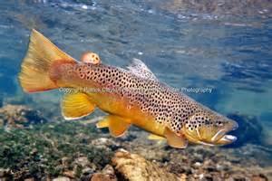 Brown Trout Underwater