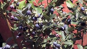 Wann Heidelbeeren Pflanzen : heidelbeeren pflanzen und pflegen garten video anleitung tipps und tricks vom profi youtube ~ Orissabook.com Haus und Dekorationen