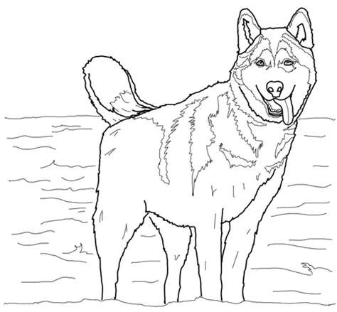 coloriage husky siberien coloriages  imprimer gratuits