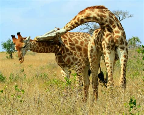 Fascinating giraffe facts you probably did not know