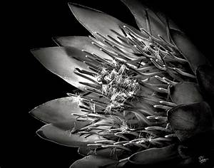 Protea In Black And White Photograph by Endre Balogh