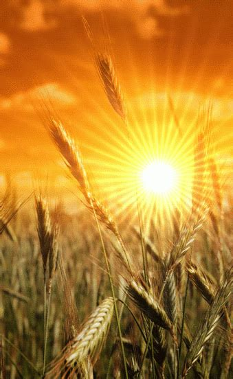 tumblr wheat  grasses champs de ble rayon soleil