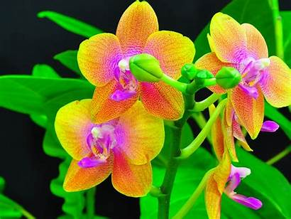Orchid Shenzhen Wallpapers Backgrounds Definition