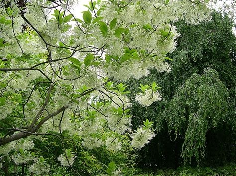 flowered tree flowering trees in virginia a guide for spring