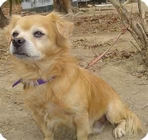 pekingese chihuahua mix temperament m5xeu dog breeds picture