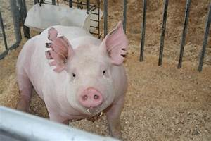 National Swine Registry  Live From Des Moines    It U0026 39 S The