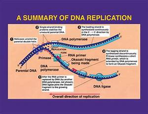 replication With explain how dna serves as its own template during replication