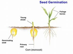 Corn Seed Diagram Corn Growth Diagram ~ Elsavadorla