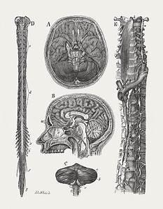 Central Nervous System Illustrations  Royalty