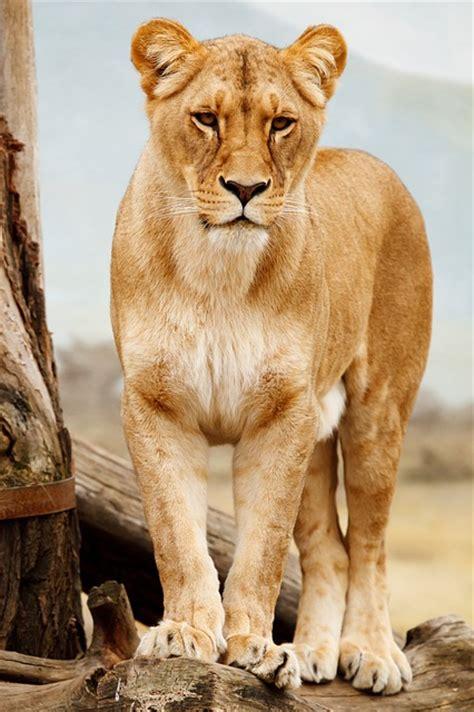 gato africa africano animal carnivoro felino descargar
