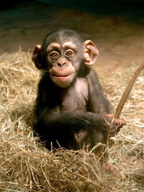 schimpanse zoo  meer bremerhaven