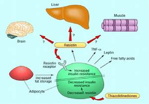 Chemical Makeup Of Fat Cells