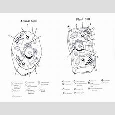 Plant Cell Diagram Worksheet Diagram Gallery  Wiring Diagram  Science  Plant, Animal Cells
