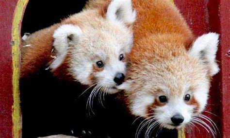 red panda franklin park zoo