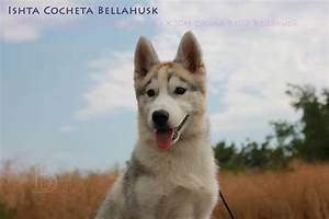 Husky Zu Verkaufen : siberian husky welpen zu verkaufen ~ Orissabook.com Haus und Dekorationen