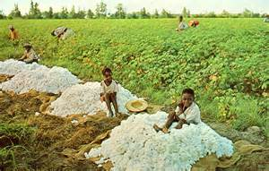 Slaves Picking Cotton in South