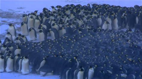 penguins huddle emperor warm keep together cold warmth pbs nature
