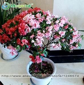 aliexpresscom buy 100pcs bag rhododendron seeds With garten planen mit bonsai azalee