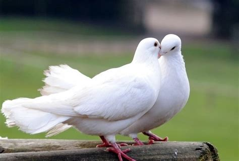 sound  doves cooing delight fans  thailand