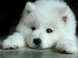 white wolf pup photo