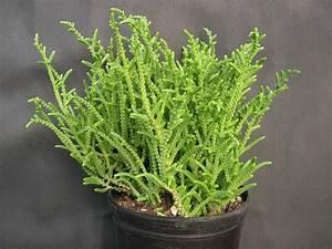 Crassula muscosa (Toy Cypress) - Ascot Vale Garden Centre