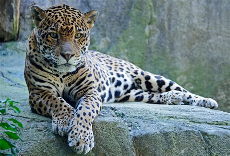 How Are Jaguars Endangered by Plan To Recover Endangered Jaguars Ignores U S Habitat