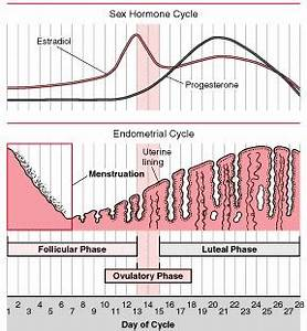 Menstrual Cycle Diagram With Ovulation
