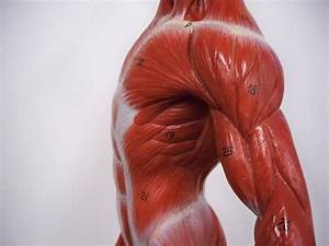 Torso And Back Muscle