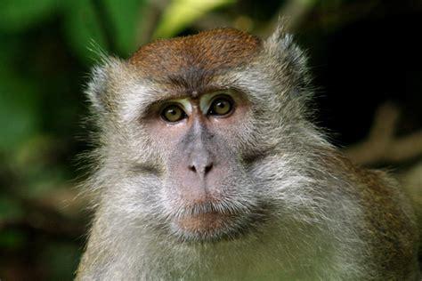 makak monkey stock photo freeimagescom
