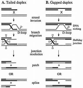 Schematic Diagram Showing Molecular Pathways For Homologous Re