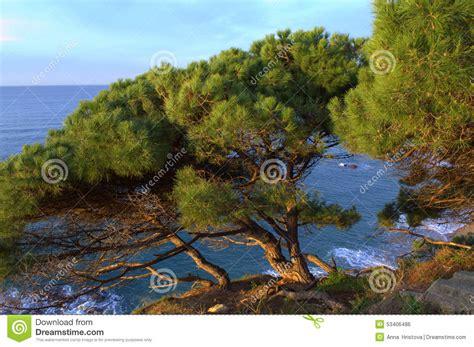 mediterranean trees mediterranean coast pine trees stock photo image 53406486