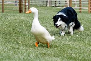 There's Always a Job for a Herding Dog - Modern Farmer