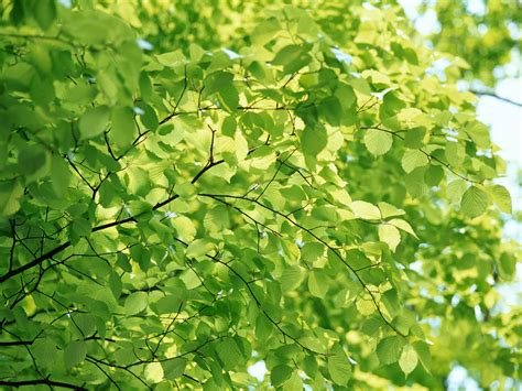 leaves tree viewing image wallpaper green background tree with leaves altenergyshift