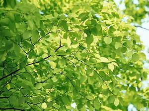 Wallpaper green background - Tree with Leaves - Green ...