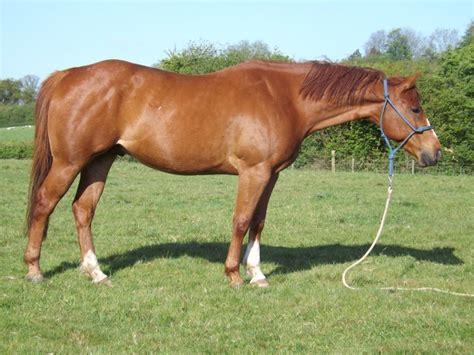 Quarter Horse Gelding   Cowbridge, Vale of Glamorgan ...