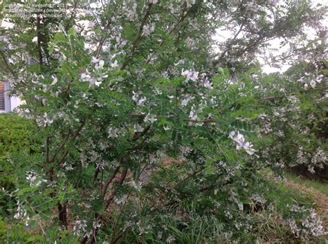 pictures of mountain laurel shrubs plantfiles pictures david s mountain laurel shrub pagoda tree sophora davidii by sladeofsky