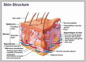 Function Of The Integumentary System  U2013 Graph Diagram In