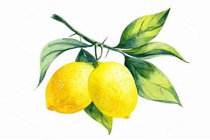 Lemon Watercolor Branch Painting Clipart Lemons Fruit