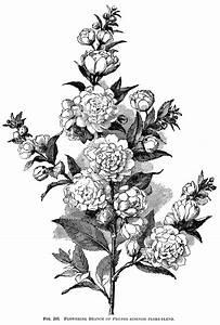 black and white botanical art - Google leit | botanical ...