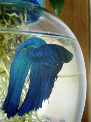 pretty betta fish images  pinterest fish