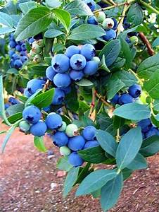 Blueberry tree | Fruit Trees | Pinterest